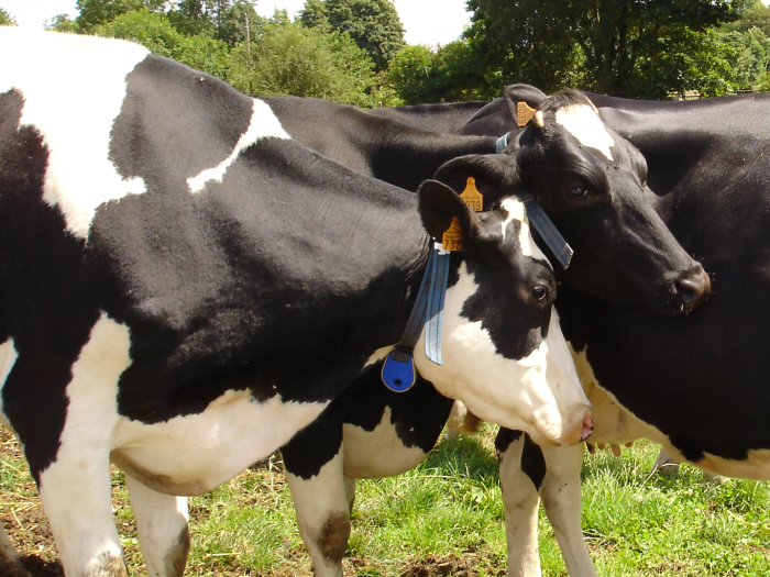 Alimentation vaches taries