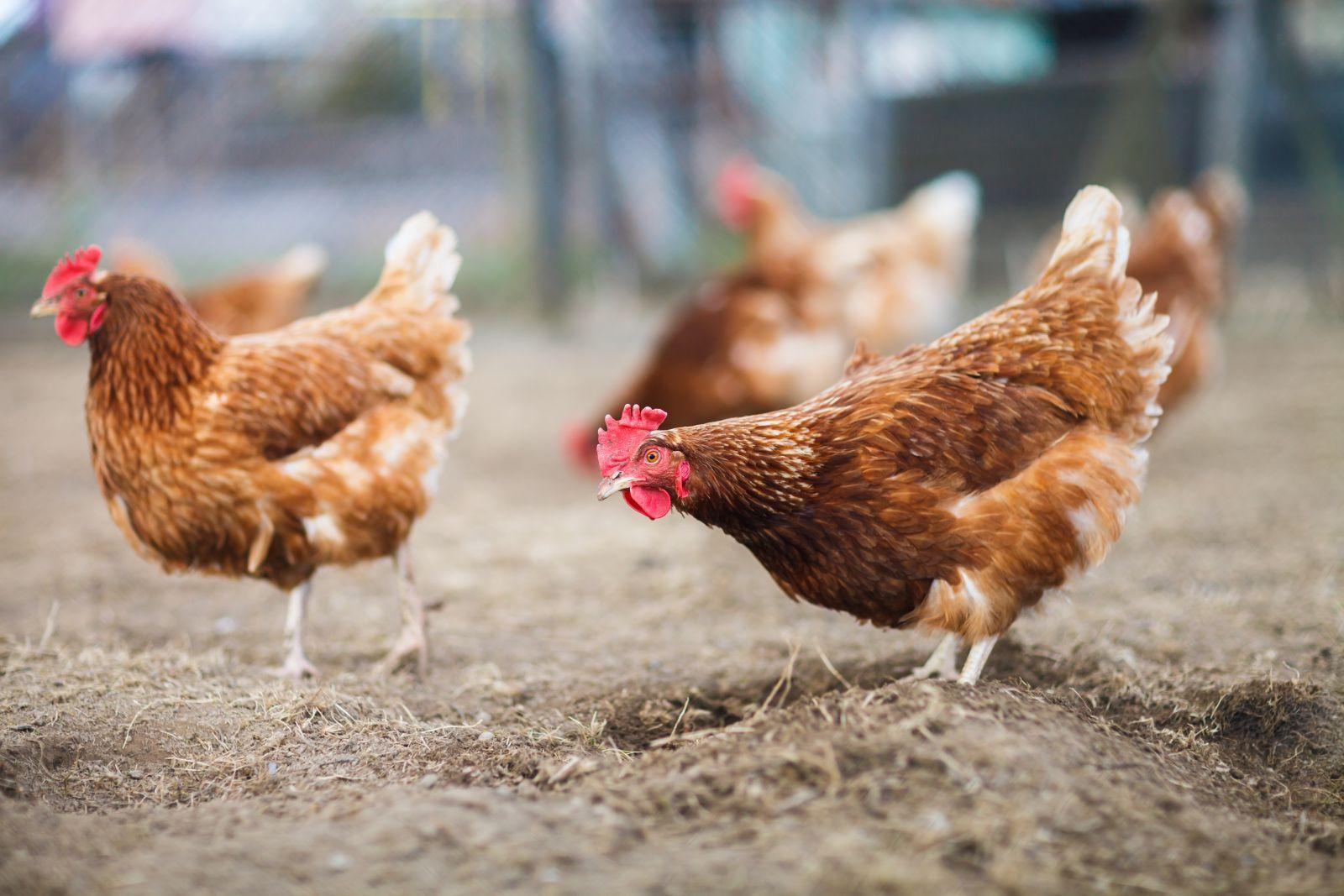 Deltavit publications scientifiques sur les volailles for Duree de ponte d une poule pondeuse